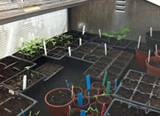 The seedlings in our propagator